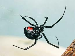 Spiders To Worry About On The Palouse Lawn Care
